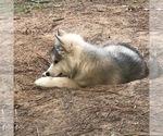 Small Photo #7 Wolf Hybrid Puppy For Sale in FILLMORE, LA, USA
