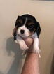 Cavalier King Charles Spaniel Puppy For Sale in MONTGOMERY, Alabama,