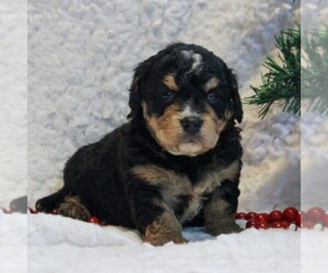 Bernedoodle-Poodle (Miniature) Mix Dog for Adoption in NARVON, Pennsylvania USA