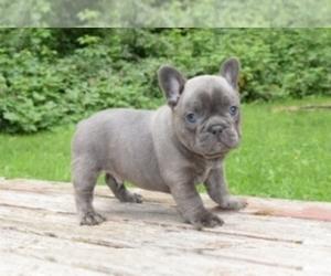 French Bulldog Puppies for Sale near Houston, Texas, USA
