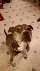 Madison - Pit Bull Terrier / Mixed (short coat) Dog For Adoption