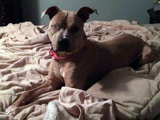 Bess - Pit Bull Terrier / Mixed (short coat) Dog For Adoption