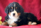 Bernese Mountain Dog Puppy For Sale in MOUNT JOY, PA,