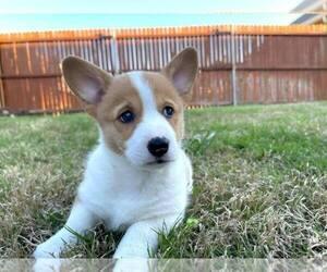 Pembroke Welsh Corgi Puppy for sale in CONCORD, CA, USA