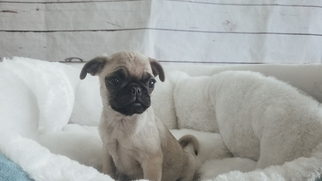 Pug Puppy For Sale in LA MIRADA, CA, USA