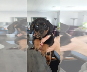 Chihuahua-Doxle Mix Puppy for Sale in CITRUS HEIGHTS, California USA