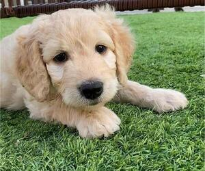 Goldendoodle Puppy for Sale in COOPER CITY, Florida USA