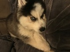 Siberian Husky Puppy For Sale in JACKSONVILLE, FL,