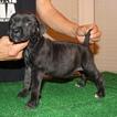 Cane Corso Puppy For Sale in BAKERSFIELD, CA, USA