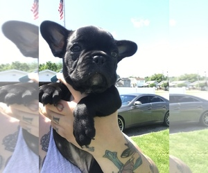 French Bulldog Puppy for Sale in NEW CASTLE, Pennsylvania USA