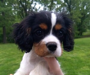 Cavalier King Charles Spaniel Puppy for sale in TONTITOWN, AR, USA