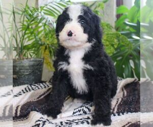 Bernedoodle Puppy for sale in EAST EARL, PA, USA