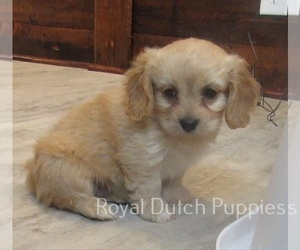 Cavachon Dog for Adoption in LE MARS, Iowa USA