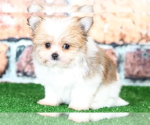 Yoranian Puppy for sale in BEL AIR, MD, USA