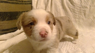 Aussie-Corgi Puppy For Sale in HOPKINTON, IA, USA