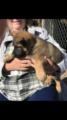 AKC German Shepherd Puppies  Czech working lines