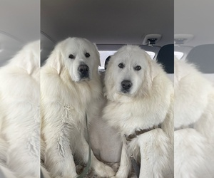 Mother of the Great Pyrenees puppies born on 02/22/2021