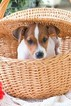 Jack Russell Terrier Puppy For Sale in PLYMOUTH, OH, USA