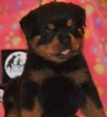 Rottweiler Dog For Adoption in HOUSTON, TX, USA