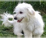 Full blooded Havanese Bichon male