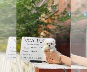 Maltese Puppy for sale in CHINO HILLS, CA, USA