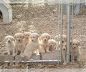 Golden Retriever Puppy for Sale in BELMONT, North Carolina USA