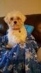 Maltipoo Puppy For Sale in HILLSBORO, TX, USA
