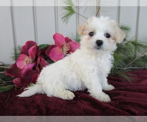 Cavachon Puppy for sale in SHILOH, OH, USA