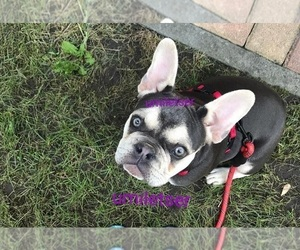 French Bulldog Puppy for sale in SEATAC, WA, USA