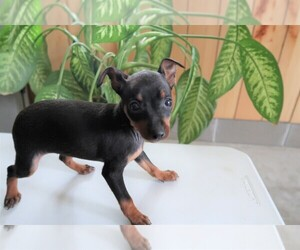 Miniature Pinscher Puppy for sale in SOUTH BEND, IN, USA