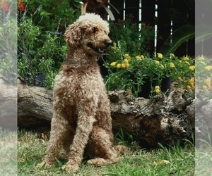 Father of the Goldendoodle puppies born on 02/25/2021