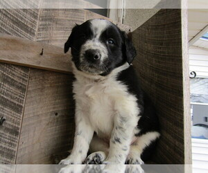 Border Collie Puppy for sale in DETROIT, MI, USA