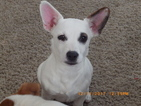 Jack Russell Terrier Puppy For Sale in CINCINNATI, OH,