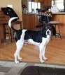Treeing Walker Coonhound Dog For Adoption in GALESBURG, MI, USA