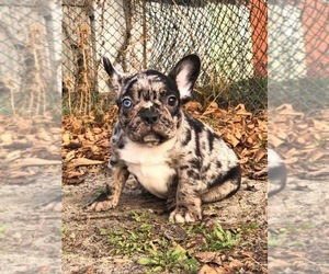 French Bulldog Puppy for Sale in HOLLYWOOD, Florida USA