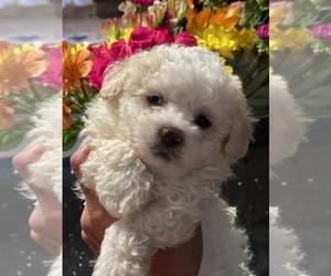 Bichon Frise-Maltipoo Mix Puppy for Sale in LEBANON, Tennessee USA