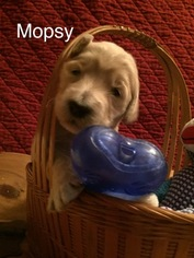 Goldendoodle Puppy For Sale in THORNTON, IL
