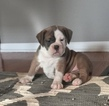 BEAUTIFUL OLDE ENGLISH BULLDOGGE PUPPIES