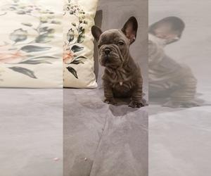 French Bulldog Dog for Adoption in MORENO VALLEY, California USA
