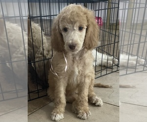 Poodle (Standard) Puppy for sale in CHANDLER, AZ, USA