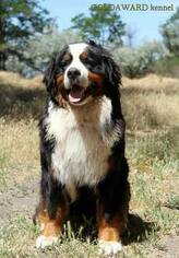 Father of the Bernese Mountain Dog puppies born on 11/19/2018
