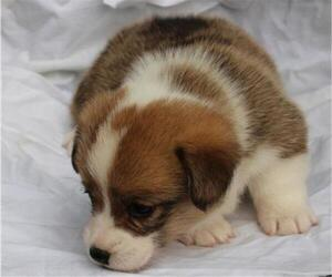Pembroke Welsh Corgi Puppy for sale in WOODMAN, WI, USA