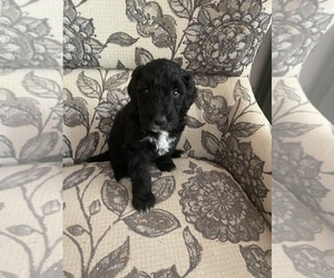 Poodle (Standard)-Shepadoodle Mix Puppy for Sale in ELK GROVE, California USA