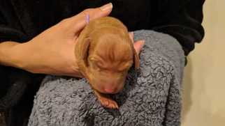Vizsla Puppy For Sale near 90249, Gardena, CA, USA