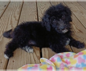 Goldendoodle Puppy for sale in MORGANTOWN, KY, USA