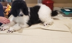 Poodle (Standard) Puppy For Sale in BURNS HARBOR, IN, USA