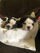 Bulldog Puppy For Sale in LOUISVILLE, KY, USA