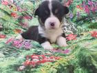 Pembroke Welsh Corgi Puppy For Sale in ASHEBORO, NC, USA