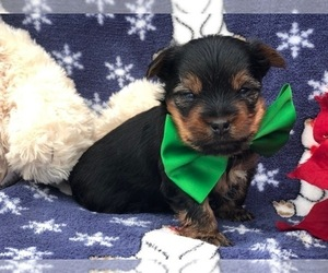 Yorkshire Terrier Puppy for sale in CLAY, PA, USA