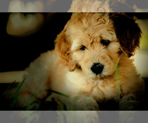 Goldendoodle Puppy for Sale in LISBON, Ohio USA